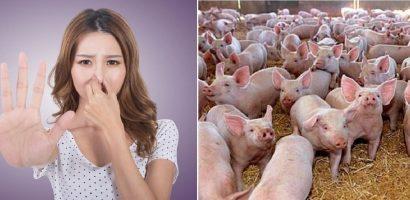 Iz politic cu aroma de porci. Raportul de amplasament al Nutripork intocmit de chiar noua directoare APM Bihor