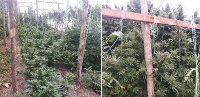 Captura impresionanta de canabis la Tinca. Doi frati cultivau canabisul intr-un solariu. FOTO / VIDEO