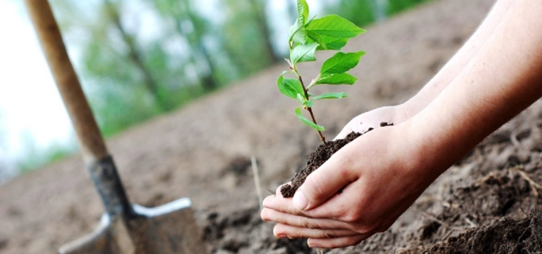 732 de arbori, plantati de primarie, pe centura Oradiei, intr-o actiune derulata in luna noiembrie
