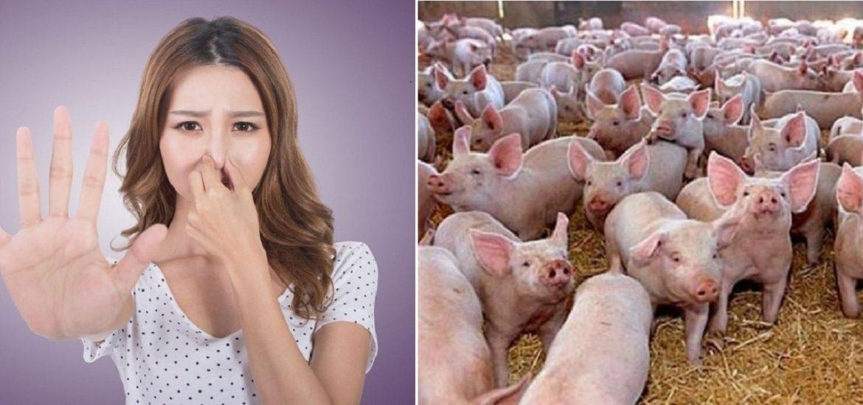 Demersurile impotriva mirosului de porci din Oradea, au ajuns la un nivel fara precedent.