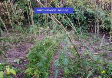 Cultura de cannabis descoperita de procurorii DIICOT in judetul Bihor (VIDEO)