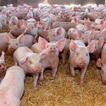 Prefectura Bihor: S-a luat masura uciderii tuturor porcilor in localitatile Abrămuț, Albiș și Olosig, din cauza pestei porcine