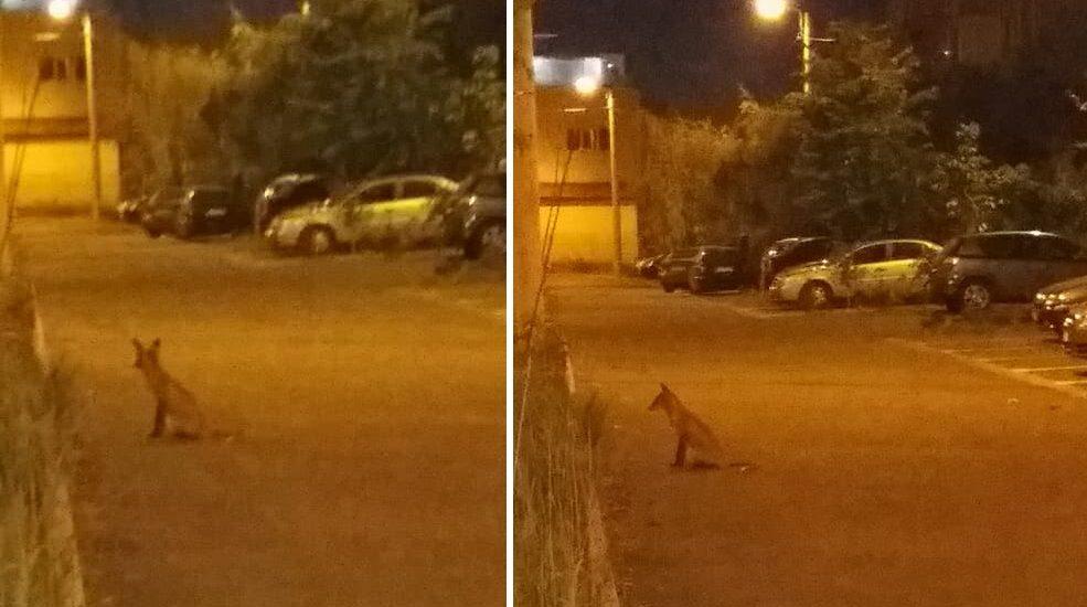 De foame, vulpile incep sa coboare in Oradea. Atentie, pot fi purtatoare de rabie! (FOTO)