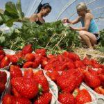 800 de locuri de munca, in agricultura, in Spania