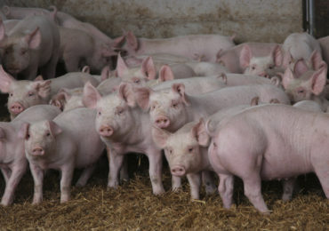 Focar de pesta porcina africana intr-o gospodarie din Satu Mare