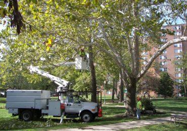 Primaria Oradea anunta ca au fost sistate tăierile de orice fel în coroana arborilor sănătoși din municipiul Oradea