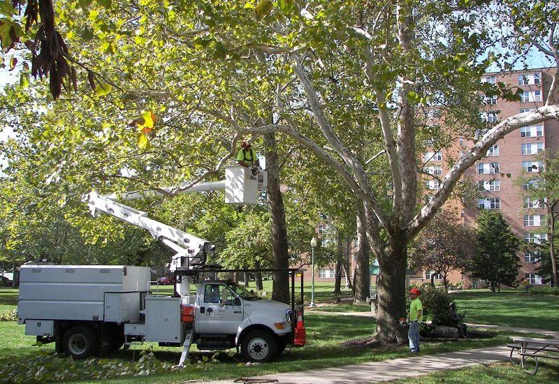 Nici o taiere sau toaletare de pomi, in Oradea, nu se face fara avizul comisiei consultative