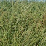 Florica Chereches: Stârpiți ambrozia, nu o cultivați!