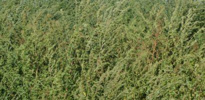 Starpiti ambrozia de pe terenurile care va apartin, amenzile sunt uriase. Cum arata ambrozia si cat e de periculoasa