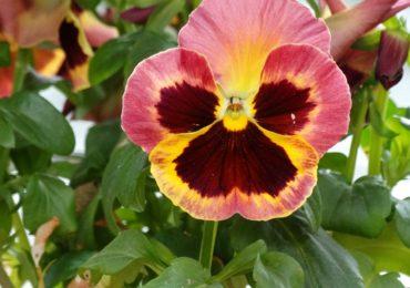 Faleza Florilor Malul Crisului
