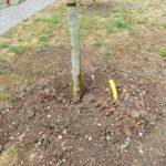 Primaria Oradea a plantat 30 de platani de 4 metri inaltime, pe strada Gh. Pop de Băsești