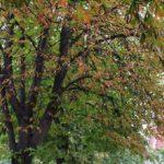 Primaria Oradea incepe activitatea de tratamente fitosanitare la arbori si arbusti