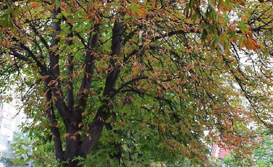 Incepe etapa a doua a tratamentelor fitosanitare impotriva larvei miniere, in Oradea