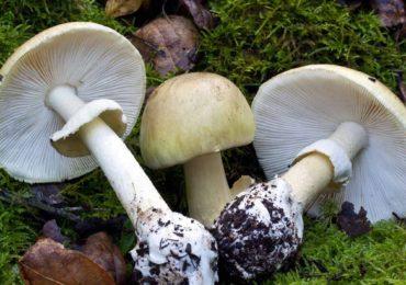 DSP Bihor: Atentie la ciupercile din flora spontana, pot aparea riscuri de intoxicatii