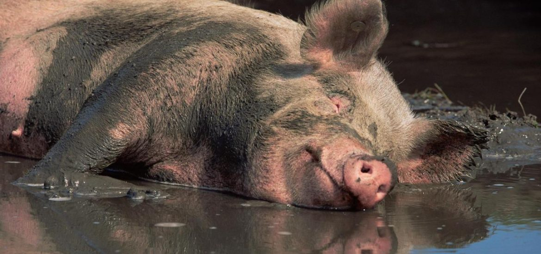 52 de focare de Pesta Porcina Africana in judetul Bihor, in gospodariile populatiei