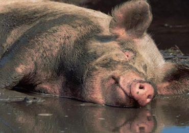 Numarul de focare  de pesta porcina, in judetul Bihor, a ajuns la 27. Vezi ce localitati sunt afectate