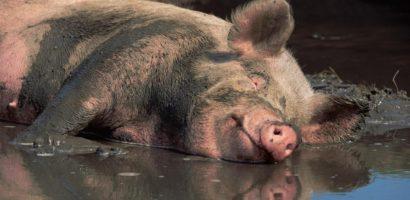 Alerta! Pesta Porcina Africana confirmata intr-o localitate din judetul Bihor