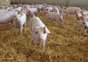 Numarul focarelor de pesta porcina africana, in judetul Bihor, a ajuns la 20