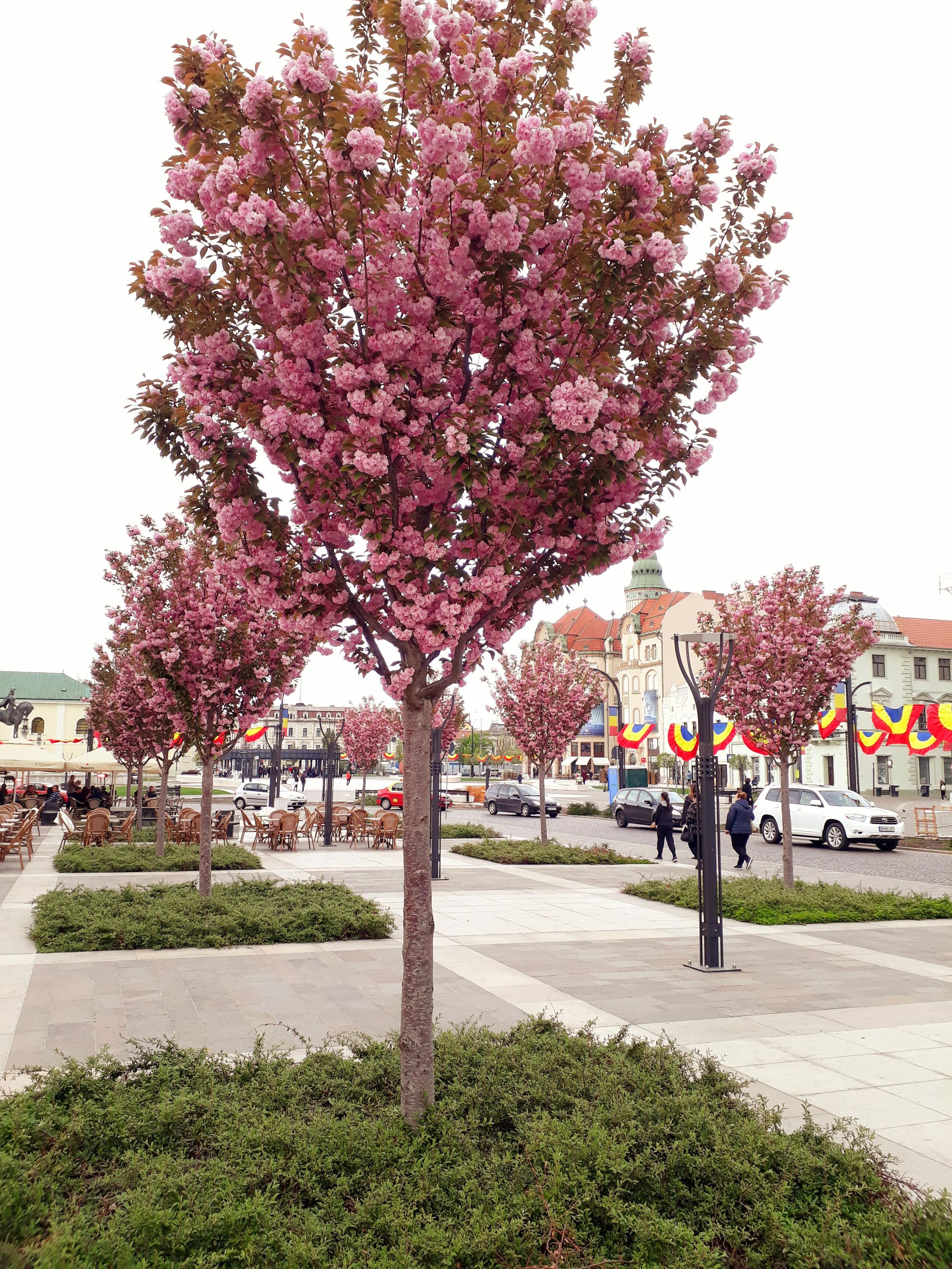 Ciresi japonezi Piata Unirii Oradea (2)
