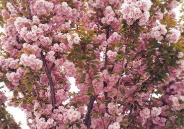 Ciresi japonezi Piata Unirii Oradea (3)