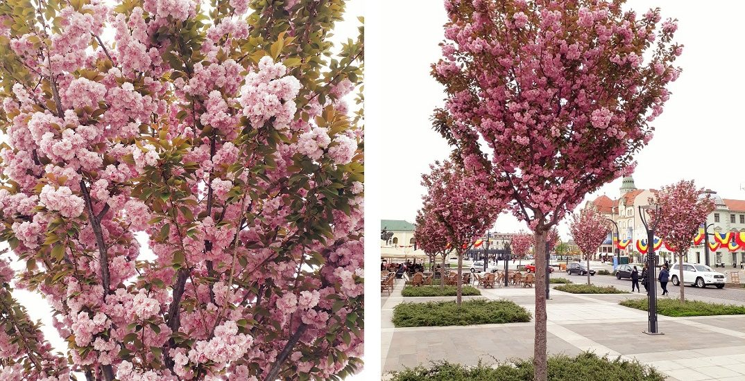 Oradea, orasul florilor. Au inflorit ciresii japonezi in Piata Unirii