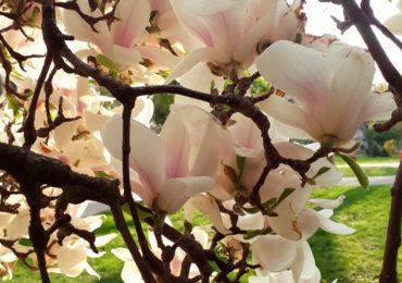 magnolii inflorite universitatea Oradea (1)