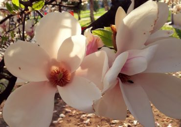 magnolii inflorite universitatea Oradea (10)