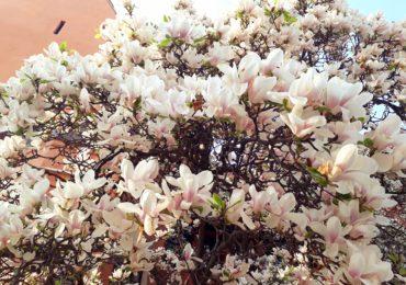 magnolii inflorite universitatea Oradea (11)