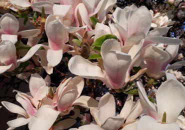 magnolii inflorite universitatea Oradea (2)