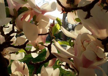 magnolii inflorite universitatea Oradea (4)