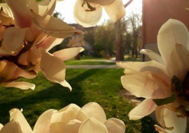 magnolii inflorite universitatea Oradea (5)