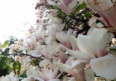 magnolii inflorite universitatea Oradea (6)