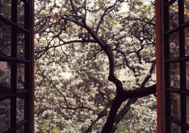 magnolii inflorite universitatea Oradea (7)