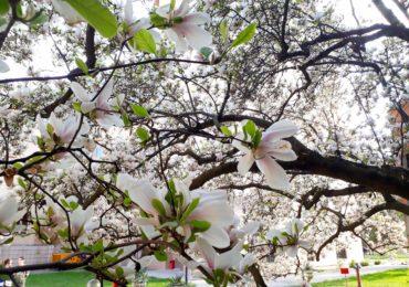 magnolii inflorite universitatea Oradea (8)