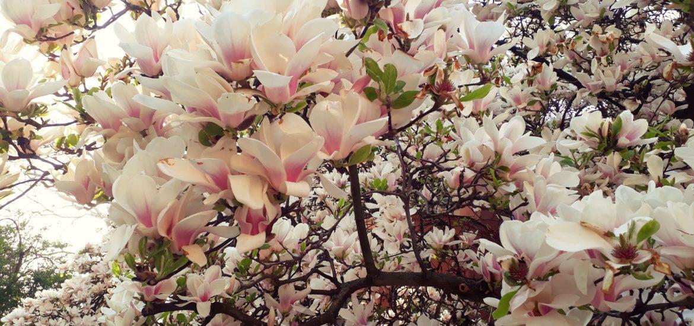 Au inflorit magnoliile! Explozie de culoare si miresme in curtea Universitatii Oradea (GALERIE FOTO)