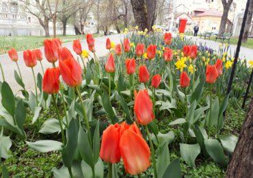 """""""Parcul cu lalele"""" a inflorit din nou si anul acesta, in Oradea. (GALERIE FOTO)"""