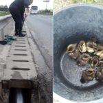 Misiune inedită pentru pompierii orădeni, care au salvat noua boboci de rata salbatica dintr-un canal