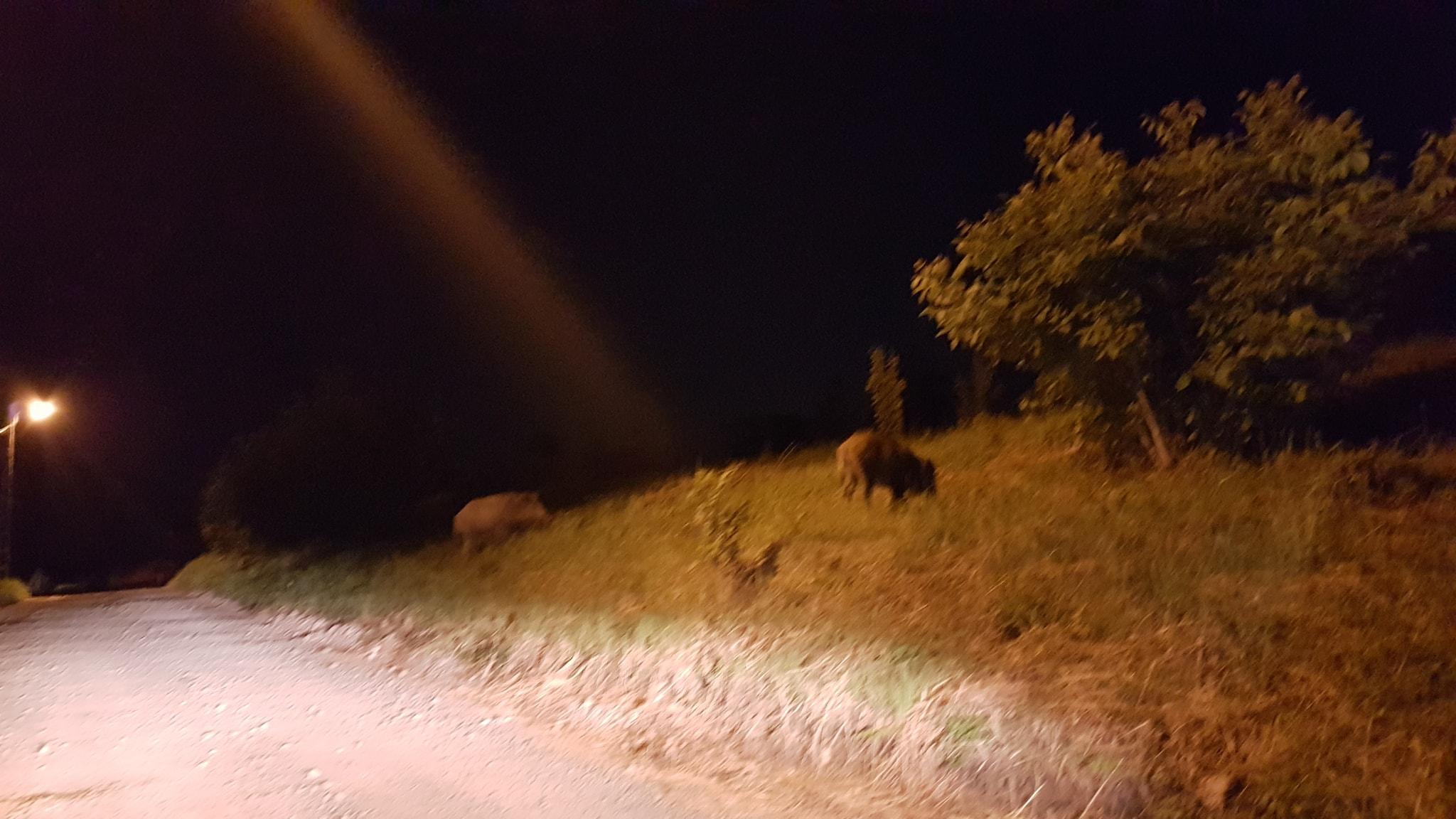 Porci mistreti Oradea- Ciuperca (2)