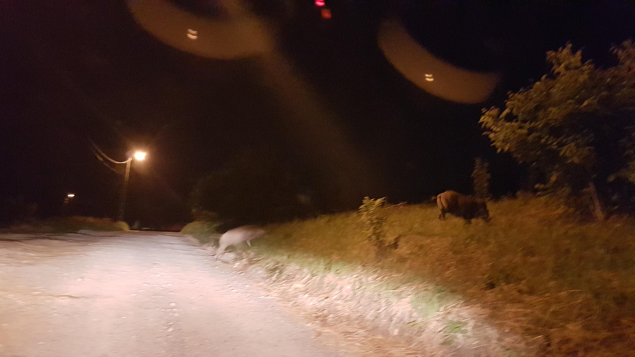 Porci mistreti Oradea- Ciuperca (4)