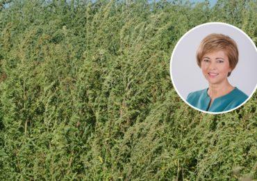 Florica Chereches: Fac, din nou, apel catre autoritati sa ia masuri pentru starpirea ambroziei