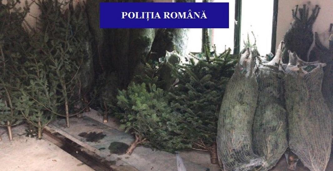 Peste 100 de pomi de Craciun, fara acte legale, confiscati de politistii bihoreni, in urma unor controale rutiere