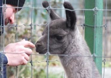 Gradina Zoologica din Oradea s-a imbogatit cu inca un pui de lama
