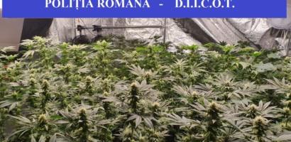 Cultura indoor de cannabis descoperita in Oradea, detinuta de mai multi tineri din Oradea si Baia Mare