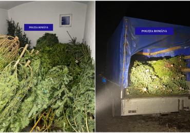 Peste 100 de pomi de Craciun, fara acte, furati din padurile Apusenilor, in acest weekend